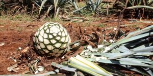 agave_t20_Xx1pdG